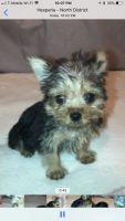 YorkiePoo Puppies for sale in Hesperia, CA, USA. price: NA