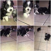 YorkiePoo Puppies for sale in Oak Park, IL, USA. price: NA