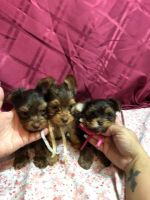 YorkiePoo Puppies for sale in Greenville, SC, USA. price: NA