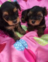 YorkiePoo Puppies for sale in Cleveland, OH, USA. price: NA