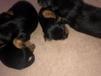 YorkiePoo Puppies for sale in Virginia City, NV 89440, USA. price: NA