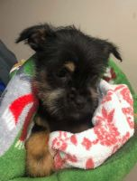 YorkiePoo Puppies for sale in Washington, DC, USA. price: NA
