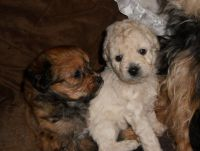YorkiePoo Puppies for sale in Gilroy, CA 95020, USA. price: NA