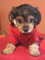 YorkiePoo Puppies for sale in Merrillville, IN, USA. price: NA