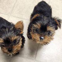YorkiePoo Puppies for sale in Walnut Creek, CA, USA. price: NA