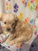YorkiePoo Puppies for sale in Northern Cambria, PA, USA. price: NA