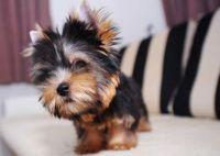 YorkiePoo Puppies for sale in Miami, FL 33155, USA. price: NA