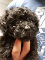 YorkiePoo Puppies for sale in Wylie, TX, USA. price: NA