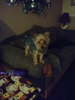 YorkiePoo Puppies for sale in Jacksonville, FL, USA. price: NA