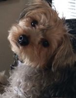 YorkiePoo Puppies for sale in North Providence, RI 02908, USA. price: NA