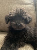 YorkiePoo Puppies for sale in Natchitoches, LA, USA. price: NA