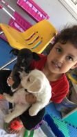 YorkiePoo Puppies for sale in La Habra, CA 90631, USA. price: NA