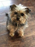 YorkiePoo Puppies for sale in Delano, MN 55328, USA. price: NA