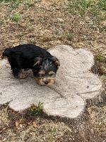 YorkiePoo Puppies for sale in Charlotte, NC, USA. price: NA