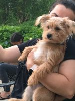 YorkiePoo Puppies for sale in Avon, OH 44011, USA. price: NA