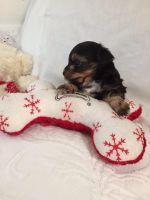 YorkiePoo Puppies for sale in Hampstead, NC, USA. price: NA
