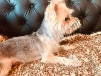 YorkiePoo Puppies for sale in Chapel Hill, NC, USA. price: NA