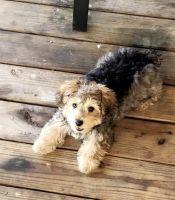 YorkiePoo Puppies for sale in Moncks Corner, SC 29461, USA. price: NA