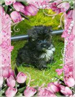 YorkiePoo Puppies for sale in Federal Way, WA, USA. price: NA