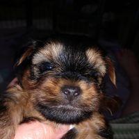 YorkiePoo Puppies for sale in Gilbert, AZ, USA. price: NA