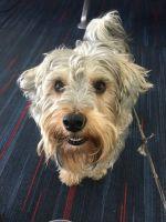 YorkiePoo Puppies for sale in 201 Hamilton Ave, Staten Island, NY 10301, USA. price: NA