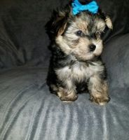 YorkiePoo Puppies for sale in Brevard County, FL, USA. price: NA