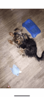 YorkiePoo Puppies for sale in East Point, GA, USA. price: NA