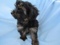 YorkiePoo Puppies for sale in Pahrump, NV, USA. price: NA