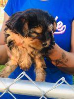 YorkiePoo Puppies for sale in Detroit, MI 48228, USA. price: NA