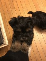 YorkiePoo Puppies for sale in Dane County, WI, USA. price: NA