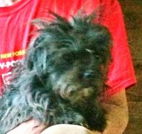 YorkiePoo Puppies for sale in Prineville, OR 97754, USA. price: NA