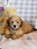 YorkiePoo Puppies for sale in 17082 FM 471, Devine, TX 78016, USA. price: NA