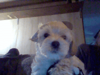 YorkiePoo Puppies for sale in Adolphus, KY 42120, USA. price: NA