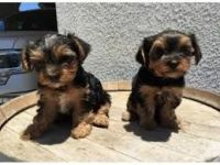 YorkiePoo Puppies for sale in Houston, TX, USA. price: NA