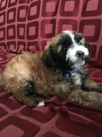YorkiePoo Puppies for sale in McFarland, CA 93250, USA. price: NA