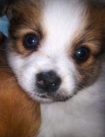 YorkiePoo Puppies for sale in Boston, MA, USA. price: NA