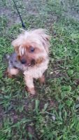 YorkiePoo Puppies for sale in Inkster, MI 48141, USA. price: NA