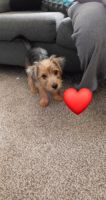 YorkiePoo Puppies for sale in Lorain, OH, USA. price: NA