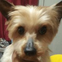 YorkiePoo Puppies for sale in Maplewood, NJ, USA. price: NA