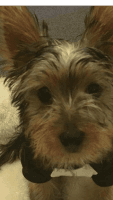 YorkiePoo Puppies for sale in Nottingham Dr, West Nottingham Township, PA 19362, USA. price: NA
