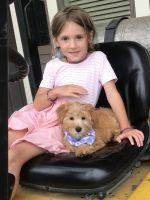 YorkiePoo Puppies for sale in Fort Wayne, IN, USA. price: NA