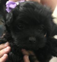 YorkiePoo Puppies for sale in Miami, FL, USA. price: NA