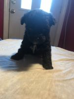 YorkiePoo Puppies for sale in Whitley City, KY 42653, USA. price: NA