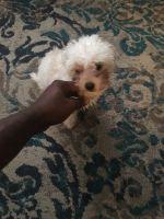 YorkiePoo Puppies for sale in Houston, TX 77060, USA. price: NA