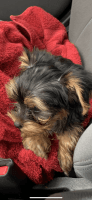 YorkiePoo Puppies for sale in Greece, NY 14626, USA. price: NA