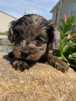 YorkiePoo Puppies for sale in North Fairfield, OH 44855, USA. price: NA
