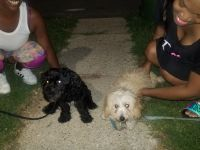 YorkiePoo Puppies for sale in Baltimore, MD 21224, USA. price: NA