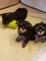 YorkiePoo Puppies for sale in Dutton, MI 49316, USA. price: NA