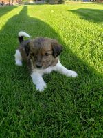 YorkiePoo Puppies for sale in Lewisville, ID 83431, USA. price: NA