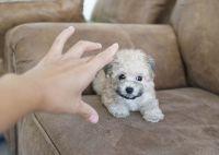 YorkiePoo Puppies for sale in Orange County, CA, USA. price: NA